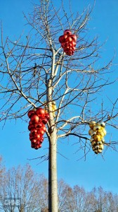 Vignes de Noël